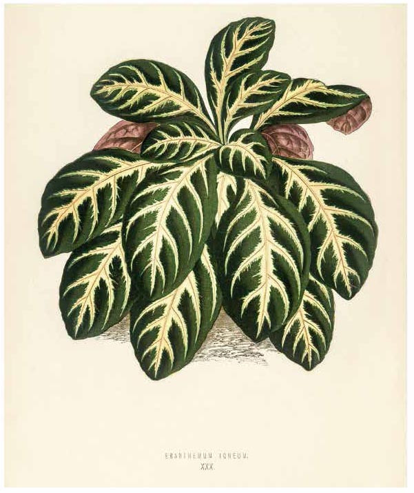 NEW AND RARE BEATIFUL-LEAVED PLANTS; CONTAINING ILLUSTRATIONS AND DESCRIPTIONS OF THE MOST